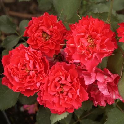 Роза канадская парковая Джон Франклин