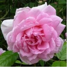Роза канадская парковая Ламберт Клосс