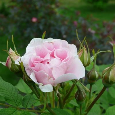 Роза канадская парковая Мартин Фробишер