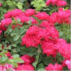 Роза канадская парковая Модэн Аморетт