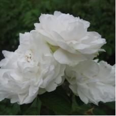 Роза канадская парковая Сэр Томас Липтон