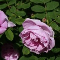 Роза канадская парковая Васагеминг