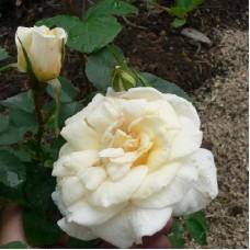 Роза канадская парковая Ж.П.Коннел
