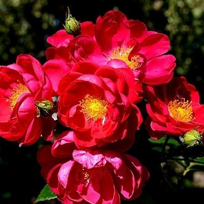 Роза канадская плетистая Генри Келси