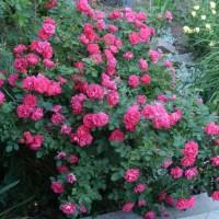 Роза канадская парковая Джордж Ванкувер