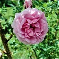 Роза канадская парковая Хайди