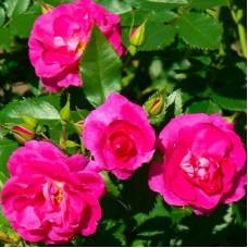 Роза канадская полуплетистая Капитан Самуэль Холланд