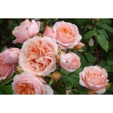 Роза парковая Гийо Поль Бокюз