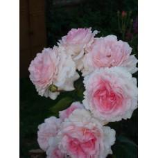 Роза парковая Кордес Принцесса Александра Люксембургская