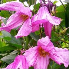 Клематис ботанический Алёнушка
