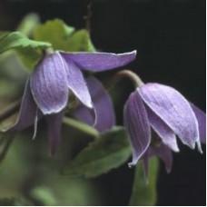 Клематис ботанический Фрэнки