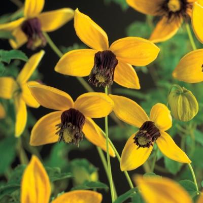 Купить саженцы Клематис ботанический Голден Тиара