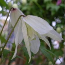 Клематис ботанический Макропетала