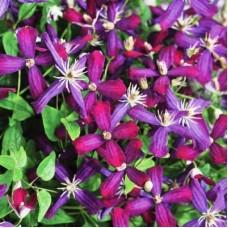 Клематис ботанический Свит Саммэ Лав