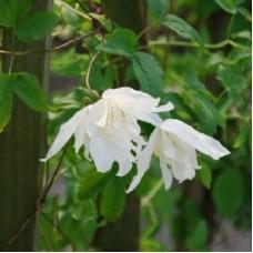 Клематис ботанический Вайт Свон