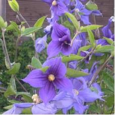Клематис крупноцветковый Амешисуто