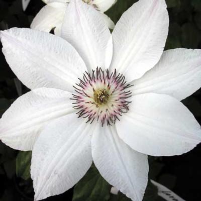 Клематис крупноцветковый Анна Каролина