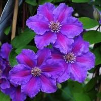 Клематис крупноцветковый Ашва