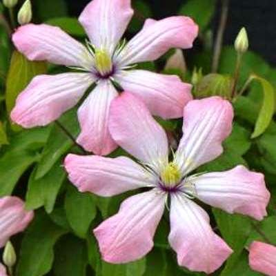 Купить саженцы Клематис крупноцветковый Ай Нор