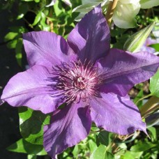 Клематис крупноцветковый Бама Стар
