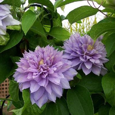 Клематис крупноцветковый Бель оф Вокинг