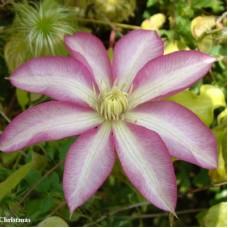 Клематис крупноцветковый Бетти Рисдон