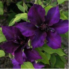 Клематис крупноцветковый Бума Стар