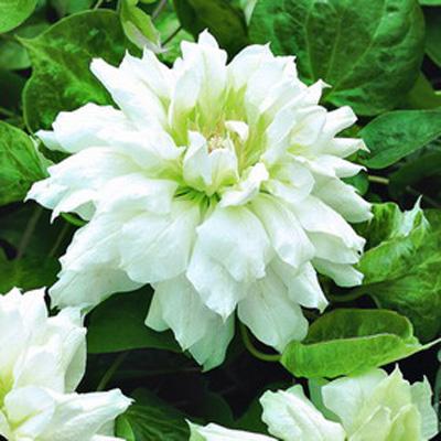 Клематис крупноцветковый Дачес оф Эдинбург