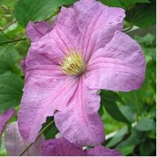 Клематис крупноцветковый Данута