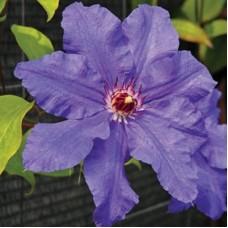 Клематис крупноцветковый Дорота