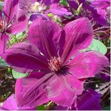 Клематис крупноцветковый Джипси Квин