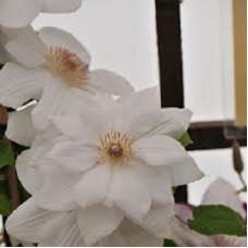 Клематис крупноцветковый Джордж Джекмен