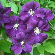 Клематис крупноцветковый Этуаль Виолетт