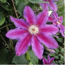 Клематис крупноцветковый Файрвокс
