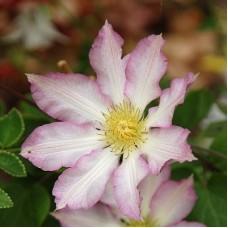 Клематис крупноцветковый Фрау Сьюзан