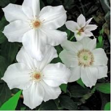 Клематис крупноцветковый Фую-но-Таби