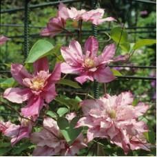 Клематис крупноцветковый Гражина