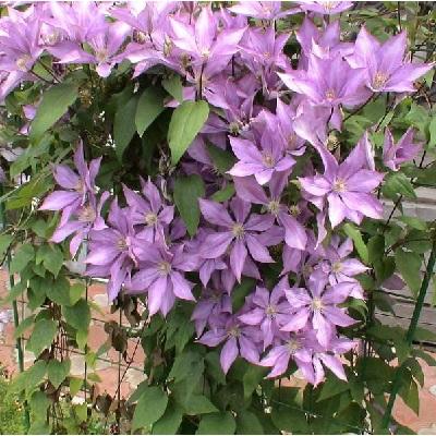 Купить саженцы Клематис крупноцветковый Хакуокан
