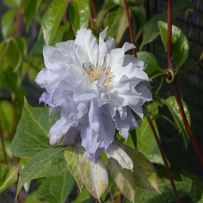 Клематис крупноцветковый Халцедон