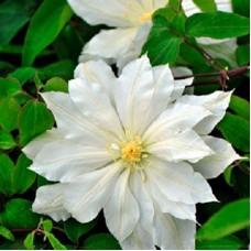 Клематис крупноцветковый Халина Нолл
