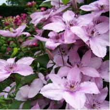 Клематис крупноцветковый Хегли Хайбрид