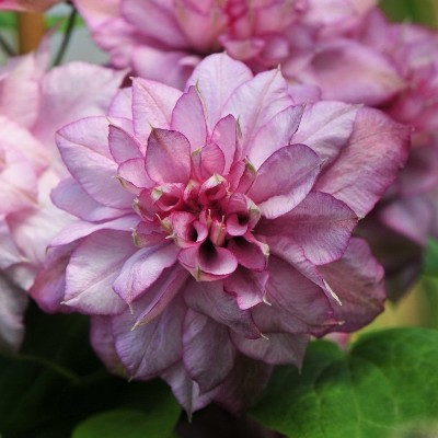 Клематис крупноцветковый Инносент Глэнс