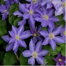 Клематис крупноцветковый Иоланта