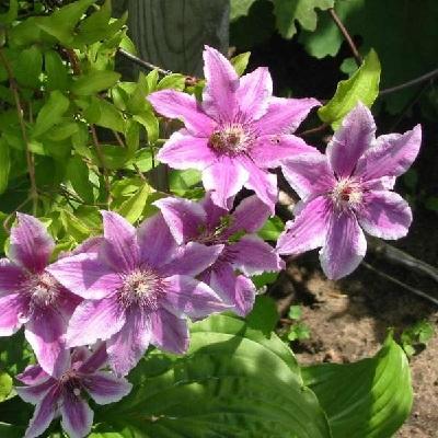 Клематис крупноцветковый Карнаби