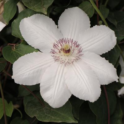 Купить саженцы Клематис крупноцветковый Королева Ядвига