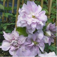 Клематис крупноцветковый Луиз Роу