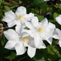 Клематис крупноцветковый Мария Буасело