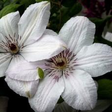 Клематис крупноцветковый Мать Урсула Ледуховска