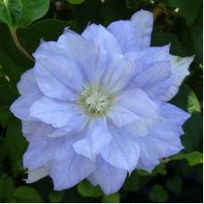 Клематис крупноцветковый Мазури