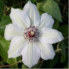 Клематис крупноцветковый Мисс Бейтмен